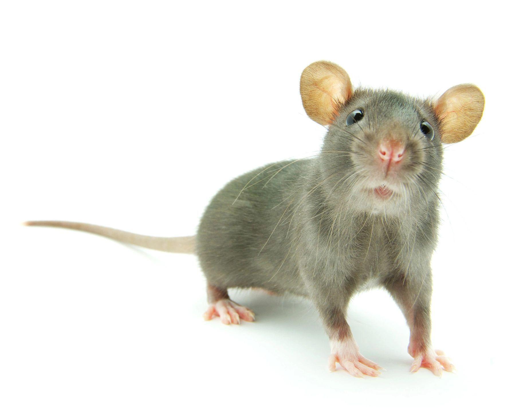 Rat Control Service :